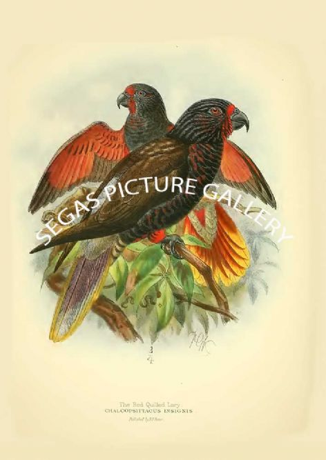 Fine art print of the Red-quilled Lory - Chalcopsittacus insignis by St George Mivart (1896)